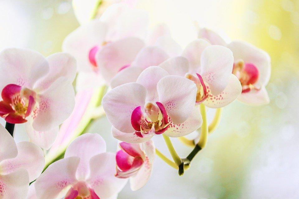 Jak to udělat, aby orchidej kvetla?